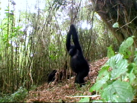 Young mountain gorilla swings in vine video