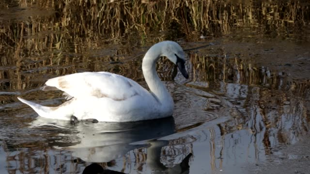 Young mute swans breaking the ice on Mitcham Pond in Surrey HD video