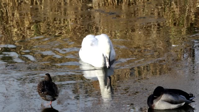 Young mute swans breaking the ice on Mitcham Pond in Surrey HD video video