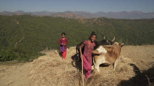 Young Nepali girls smile as they herd cows in circle Hand-held camera view stamping feet stock videos & royalty-free footage