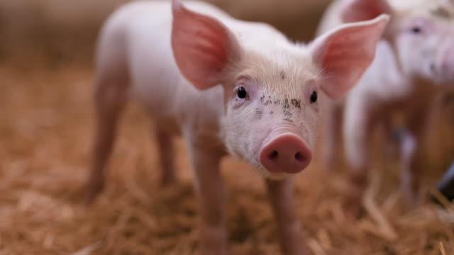 junge ferkel in stable. tierische lebensmittelproduktion - schwein stock-videos und b-roll-filmmaterial