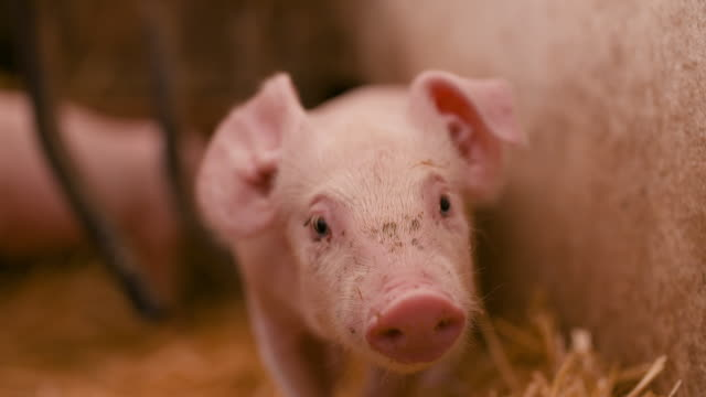 Young Piglets in Stable. Livestock Food Production