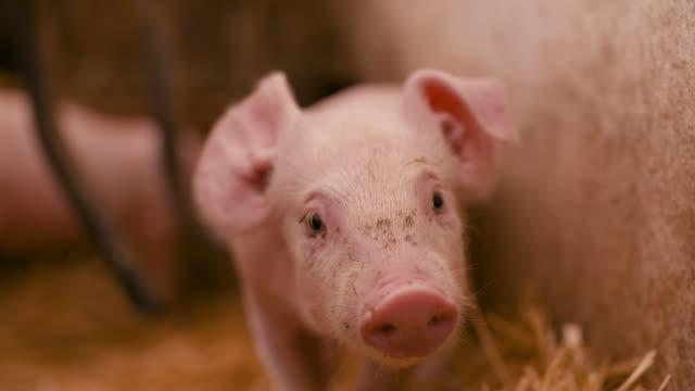 ahırdaki genç domuzcuklar. hayvancılık gıda üretimi - ahır stok videoları ve detay görüntü çekimi