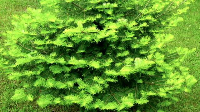 vidéos et rushes de jeune arbre de pin avec de nouvelles feuilles fraîches restant dans le pré entouré - composition florale
