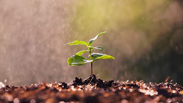 Young Plant Growing In Sunlight. New small sprout of  Coffee tree the plantations field with raining or watering background concept