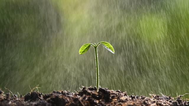 vidéos et rushes de jeune plant sous la pluie - arroser