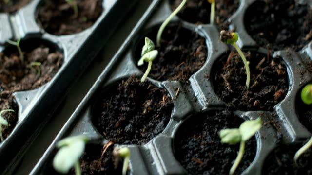 unga växter i början av våren - pea sprouts bildbanksvideor och videomaterial från bakom kulisserna