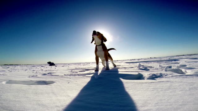 Young playful beagle barks and howls on the frozen lake covered in snow video