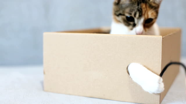 A young playful cat in a box Playful cat in a box of cardboard shorthair cat stock videos & royalty-free footage