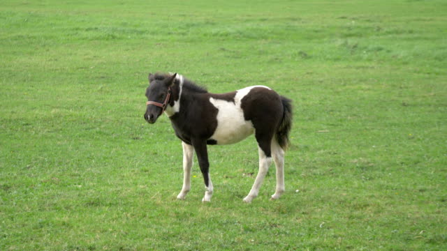 Young ponny horse standing on the meadow in 4K video