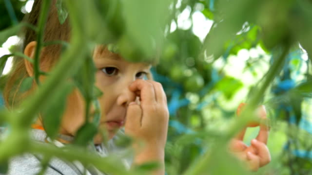 young pretty girl eats ripe tomato behind close green leaves - pomodoro video stock e b–roll