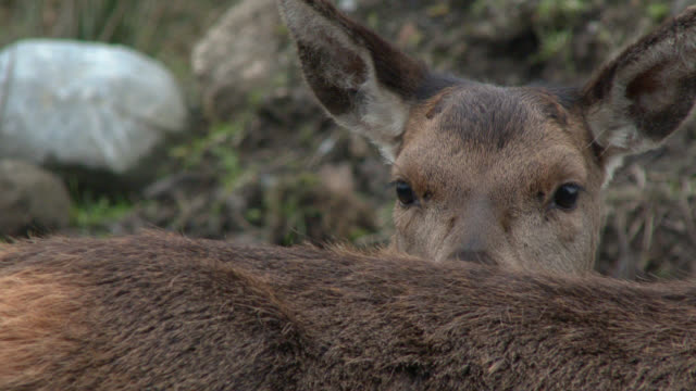 Young red deer fawn behind a doe in rural south west Scotland 4k footage shot at 50fps and interpreted at 25fps to give slower motion galloway scotland stock videos & royalty-free footage