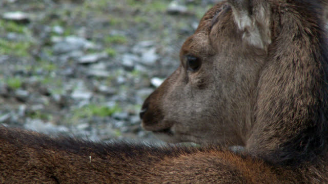 Young red deer fawn in rural south west Scotland 4k footage shot at 50fps and interpreted at 25fps to give slower motion galloway scotland stock videos & royalty-free footage