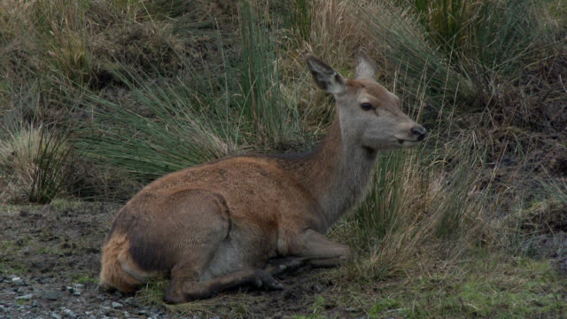 young red deer in rural south west scotland - jelonek filmów i materiałów b-roll