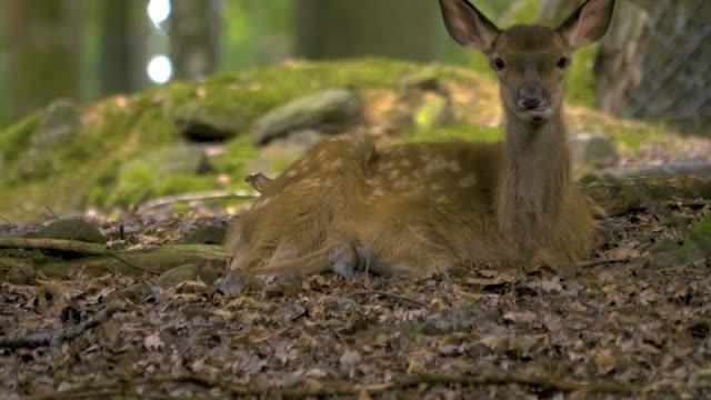 young red deer - jelonek filmów i materiałów b-roll