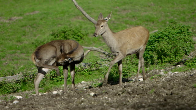 young red deer (fawn) (slow motion - close up) video