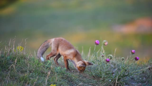 Young Red Foxs looking for something in the grass video