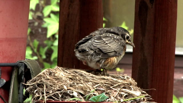 Young Robin video