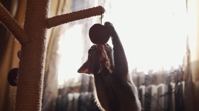 Young Russian blue cat playing with ball that hanging on the scratcher