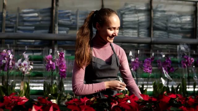 Young smiling female florist in apron examining and arranging flowerpots with red poinsettia on the shelf. Young woman in the greenhouse with flowers checks a pot of red poinsettia on the shelf video