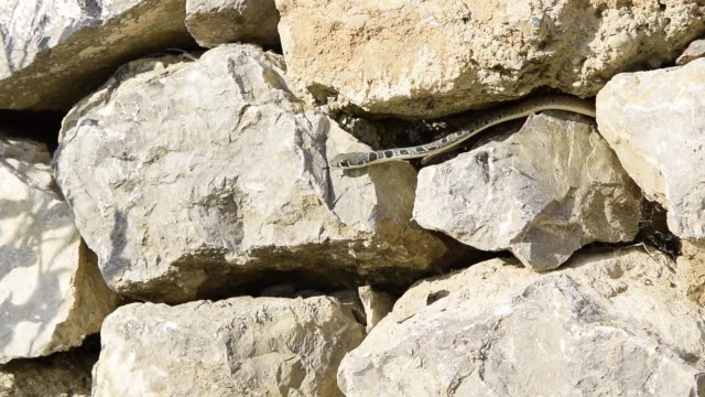 Young snake moves in the stone wall