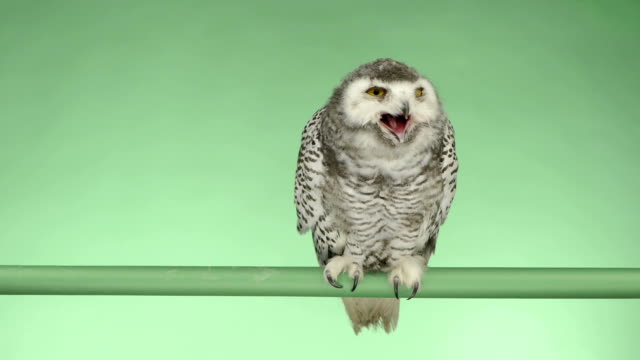 Young snowy owl perched and looking around, green key video