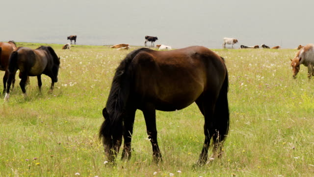 Young stallion waves with tail while eating grass on lake meadow