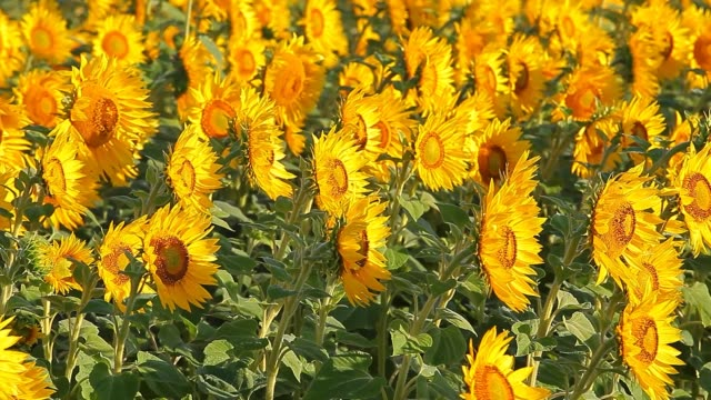 young sunflower field plant wind