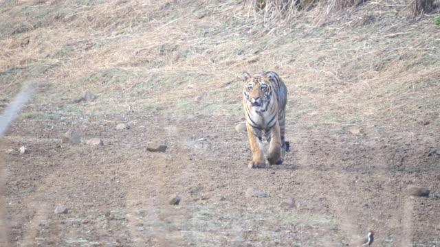young tiger approaching at tadoba- 4K 60p