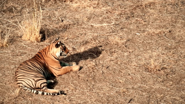 A young tiger sitting and cleaning itself in Ranthambore National Park