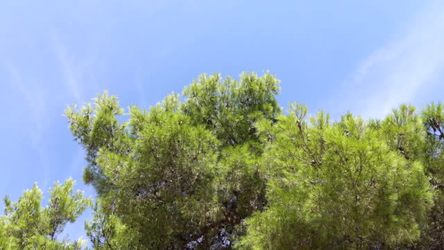 LOW ANGLE VIEW: Young verdant pine tree canopies swaying in gentle summer breeze video