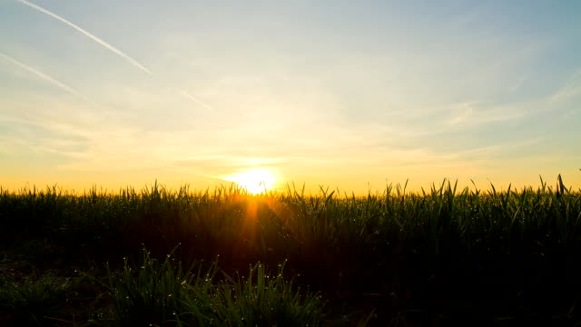 HD TIME-LAPSE: Young Wheat At Sunrise video