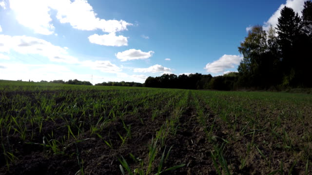Young wheat growing in the field, time lapse