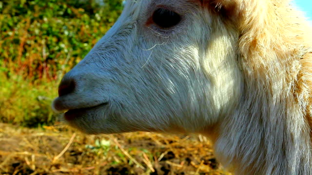 Young white goat cries video