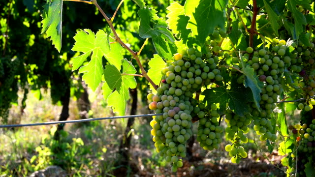 young white grapes on a vineyards in chianti region in the countryside near florence. italy. - grape stock videos & royalty-free footage