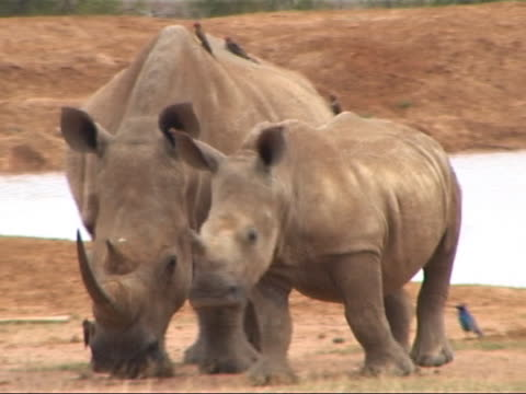 Young White Rhino steps past adult, Africa. video