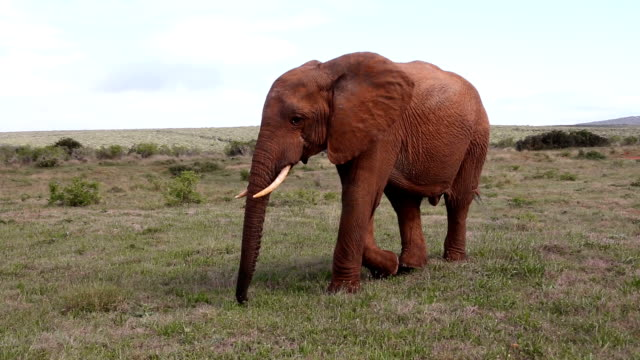 Young Wild African Bull Elephant video