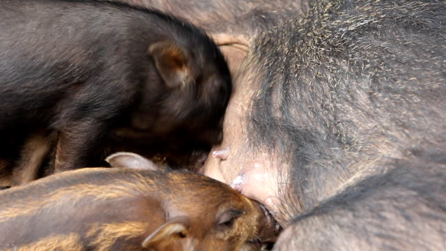 Young Wild boars drink Mather's milk video