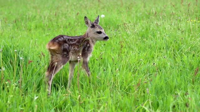young wild roe deer in grass, capreolus capreolus. new born roe deer, wild spring nature. - jelonek filmów i materiałów b-roll