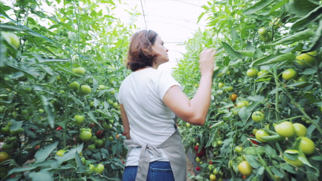 vídeos de stock e filmes b-roll de young woman checking the tomatoes production. - farmer