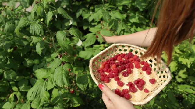 Young woman collecting ripe raspberries from a bush