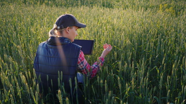 Young woman farmer working in a field of green wheat. Studying sprouts, using a tablet. Rear view Young woman farmer working in a field of green wheat. Studying sprouts, using a tablet cultivated land stock videos & royalty-free footage
