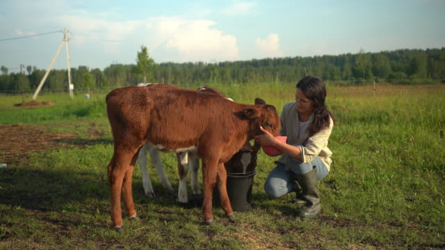 young woman feeding calves. farmer at countryside in summer. - agricoltrice video stock e b–roll