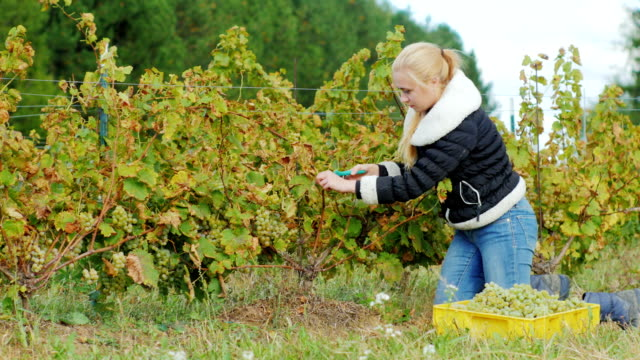 Young woman gathers the grape harvest, the grapes carefully cuts with scissors video