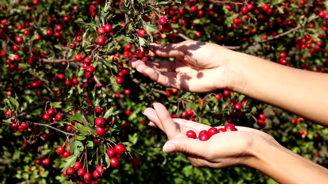 Young woman hands gathering Ripe hawthorn in autumn video