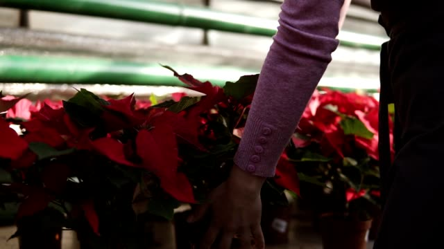 Young woman in apron walking in the greenhouse with flowers and checking a pot of red poinsettia on the shelf. Smiling female florist examining and arranging flowerpots with red poinsettia video