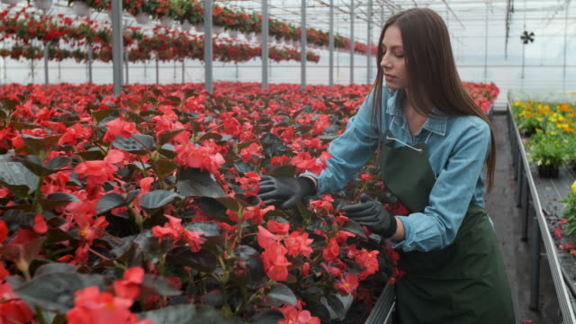 Young woman in the greenhouse with flowers checks a pot of red poinsettia on the shelf. Female florist in apron examining and arranging flowerpot with red poinsettia on the shelf. Young woman in the greenhouse with flowers checks a pot of red poinsettia on the shelf agricultural occupation stock videos & royalty-free footage
