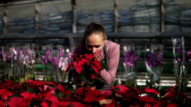 Young woman in the greenhouse with flowers checks a pot of red poinsettia on the shelf. Smiling female florist in apron examining and arranging flowerpots with red poinsettia on the shelf video