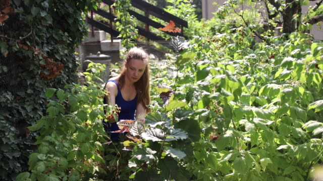 Young woman picking raspberry from backyard on sunny day