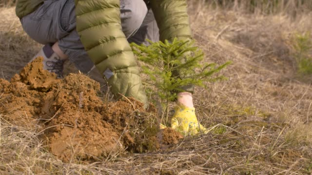Young woman planting fir tree Close up hands of young woman volunteer planting a small fir tree spacious ground near the forest. Springtime. Earth Day, eco friendly concept earth day stock videos & royalty-free footage